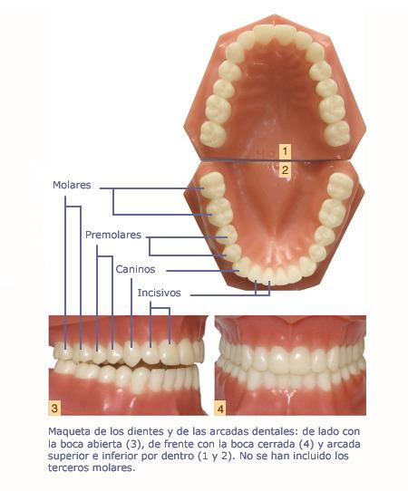 Anatomía Dentofacial | Ortodoncia Invisible Adultos | Barcelona